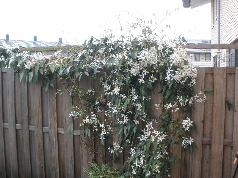 Klimplant in de bloei.